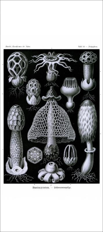 Haeckel Poster: Dictyophora