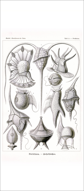 Tafel 14: Peridinium