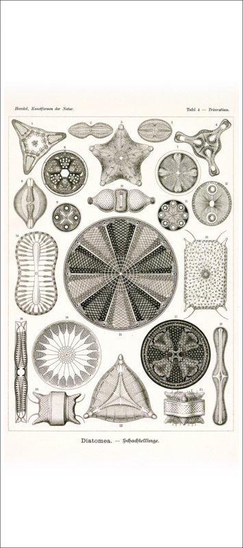 Tafel 4: Triceratium