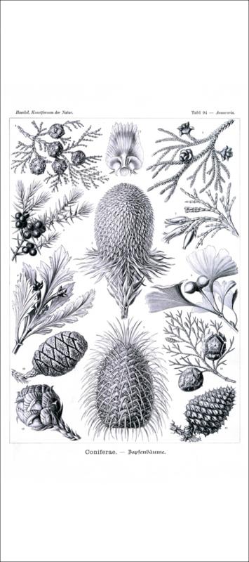 Plate 94: Araucaria