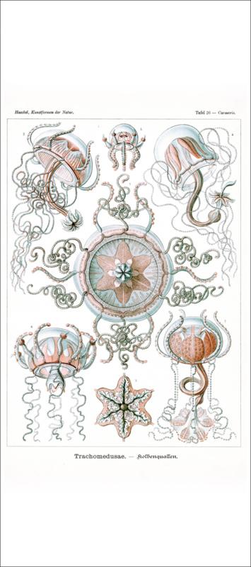Haeckel Poster: Carmaris