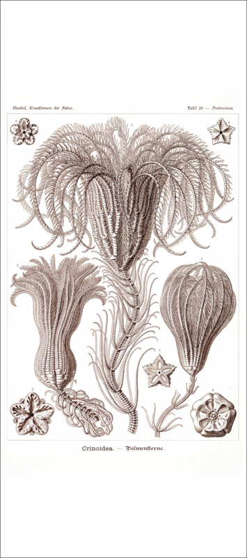 Tafel 20: Pentacrinus