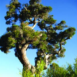 Tea Tree, etherische olie