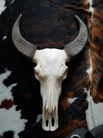 waterbuffel schedel