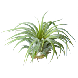 Tillandsia Ionantha Rubra medium