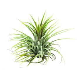 Tillandsia Ionantha groen medium