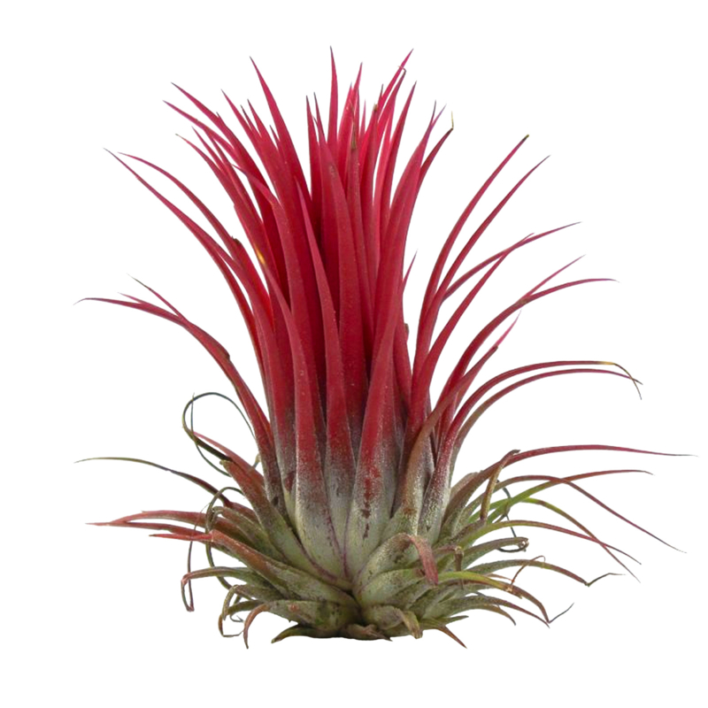 Tillandsia Ionantha rood XL
