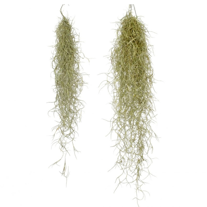 Tillandsia Usneoides medium