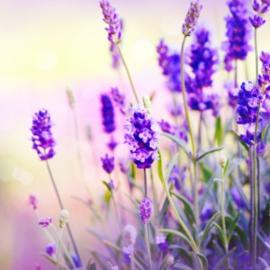 Geurolie - Lavendel