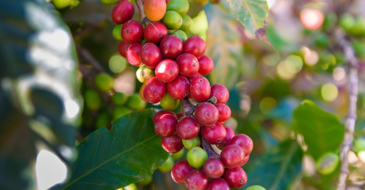 Koffiebonen uit Guatemala