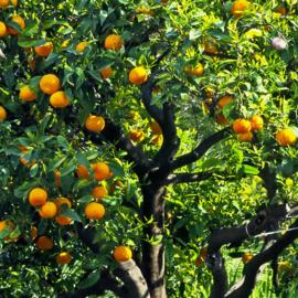 Petitgrain  essentiële olie - Fragrance of Life - Citrus aurantium - 10 ml.
