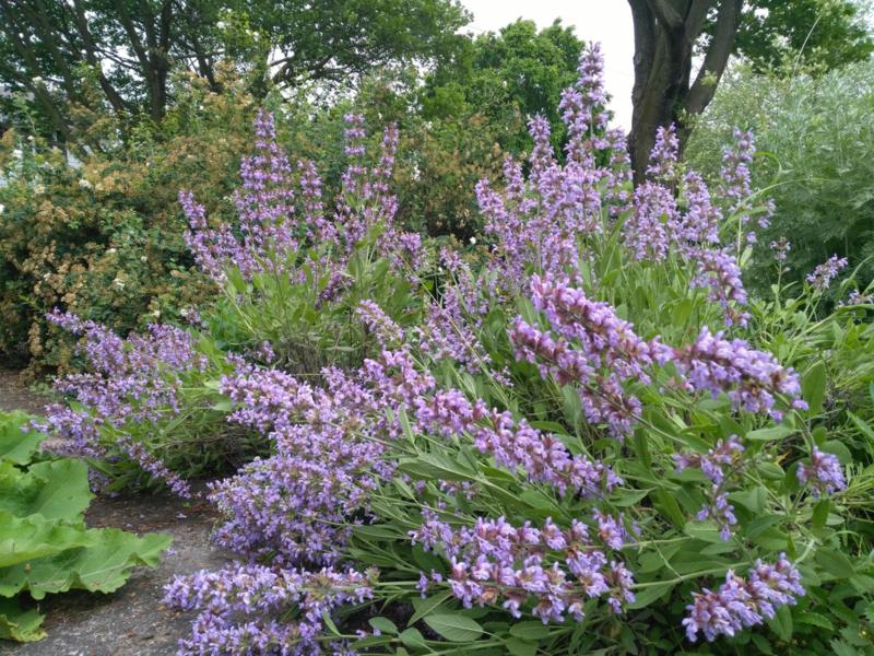 Salie essentiële olie - Fragrance of Life - Salvia officinalis - 10 ml.