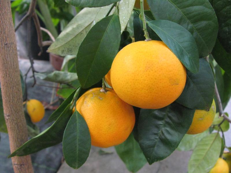 Mandarijn rood essentiële olie - Fragrance of Life - Citrus reticulata - 10 ml.