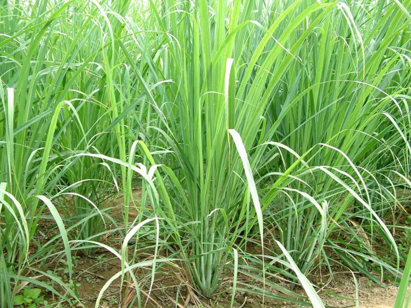 Citroengras essentiële olie - Fragrance of Life - Cybopogon flexuosus - 10 ml.
