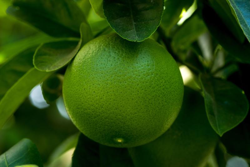 Grapefruit essentiële olie - Fragrance of Life -  Citrus paradisi - 10 ml.