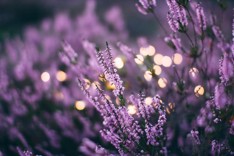 Lavendel essentiële olie - Fragrance of Life - Lavandula angustifolia - 10 ml.