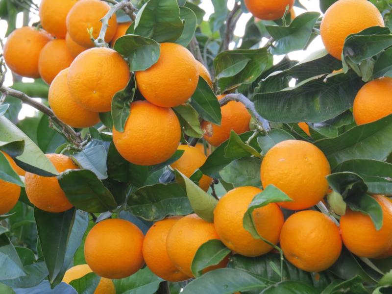 Sinaasappel zoet essentiële olie - Fragrance of Life - Citrus sinensis - 10 ml.