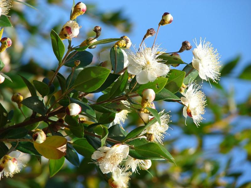 Mirthe essentiële olie - Fragrance of Life - Myrtus communis - 10 ml.