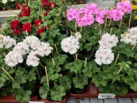 hang geranium