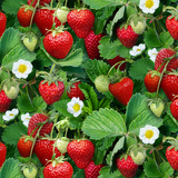aardbeienplantjes