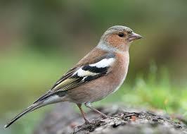 Deli Nature 99 - Europese Vogels Basis 1 kg