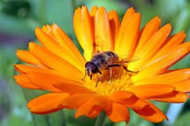 Bloemen- en kruidenmengsel 2 nectarplanten, bloemen, kruiden en natuurlijke stikstof binders (groen bemester/akkerranden)  1 en meerjarige zaden