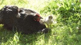 Biologische gevogelte weide