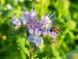 Bloemen- en kruidenmengsel 1 bloemen, kruiden en natuurlijke stikstof binders (groen bemester/akkerranden)  1- en meerjarige zaden