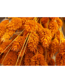 Droogbloemen Phalaris Orange