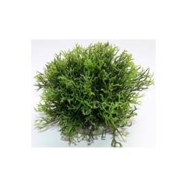 Green Moss XL 12cm