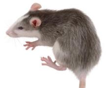 Ratten informatie