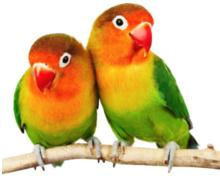 Dwerg papegaai informatie