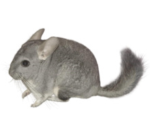 Chinchilla informatie