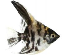 Maanvissen informatie