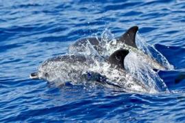 01-dolfijnen3 Diamond Painting vierkante steentjes - dolfijnen zwemmen