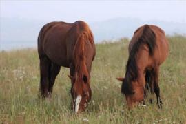 Jul and Jullie  grazende Paarden DH154