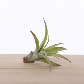 Tillandsia Capitata medium