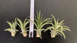 Tillandsia Brach. var. Multiflora (SMALL)