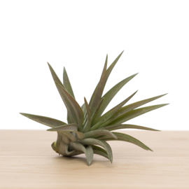Tillandsia Brach. var. Multiflora (medium)