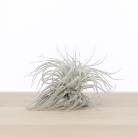 Tillandsia Tectorum SNOW XL