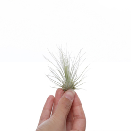 Tillandsia Argentea (medium)