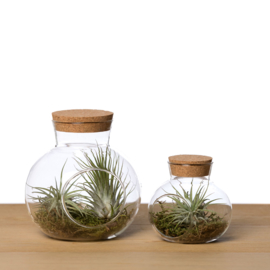 (Big) Glass Cork + 2 airplants