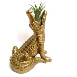 gouden krokodil + ionantha Rubra large