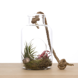 2 airplants in hanging vase