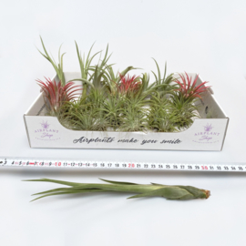 Starters MIX: 40x airplants