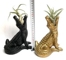 Zwarte krokodil + ionantha Rubra large