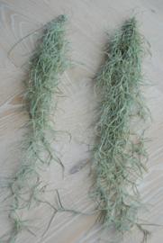 Spaans mos (medium)