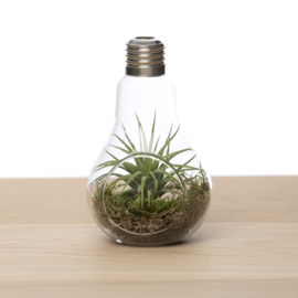Lightbulb + Tillandsia