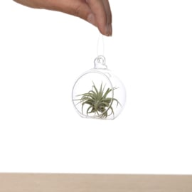 Tillandsia in glasbowl 6m