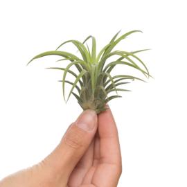 Tillandsia Ionantha XL (groen)